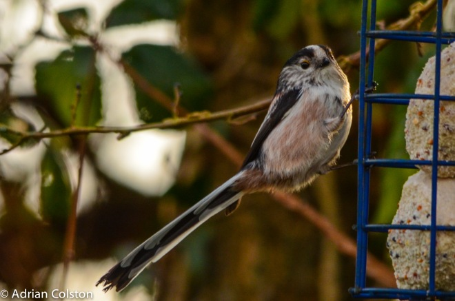 Long tailed tit 4