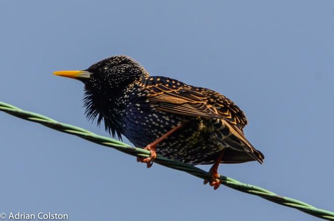Starling 5