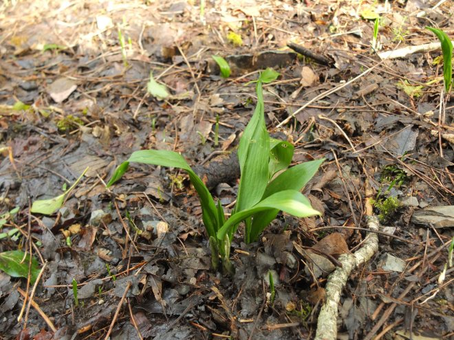 Wild garlic Lydford