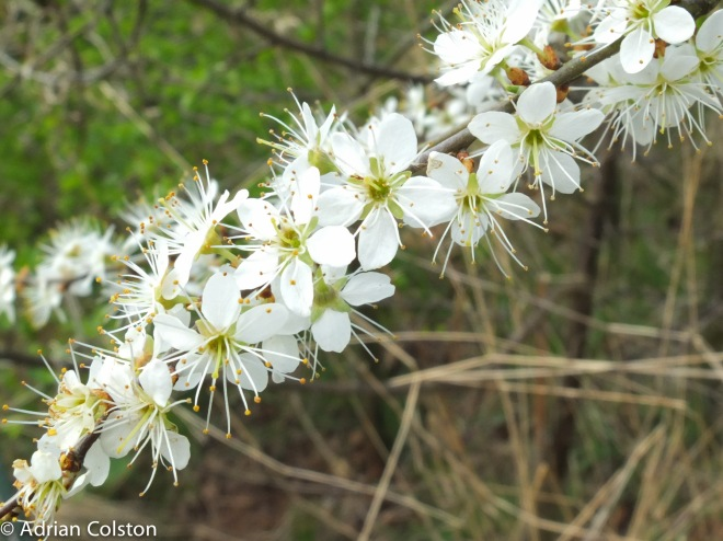 Blackthorn2