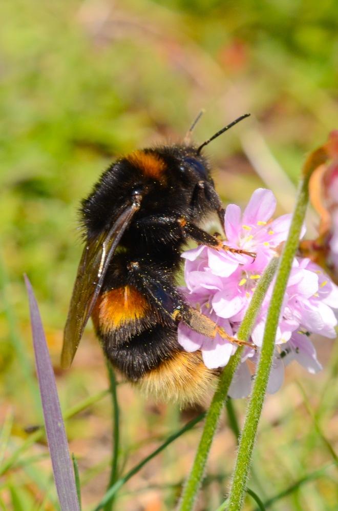 Bt bumblebee