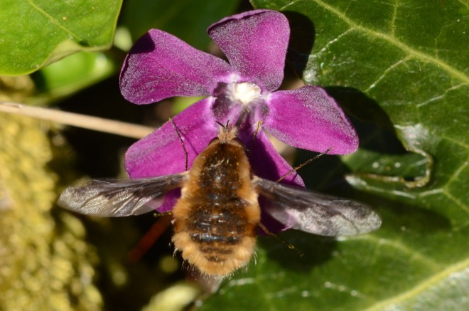 Finch bee fly 1