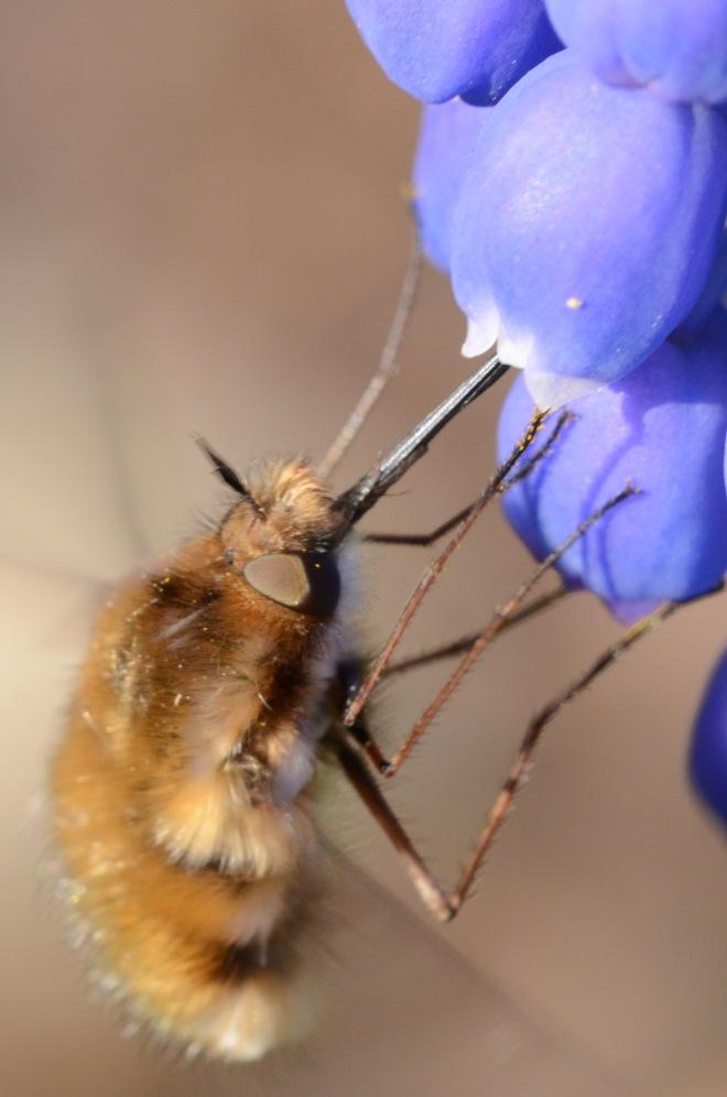 Finch bee fly 2