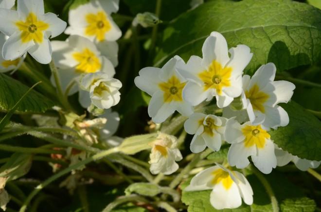 Finch primrose