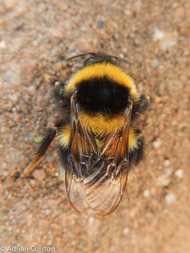Garden bumblebee 1