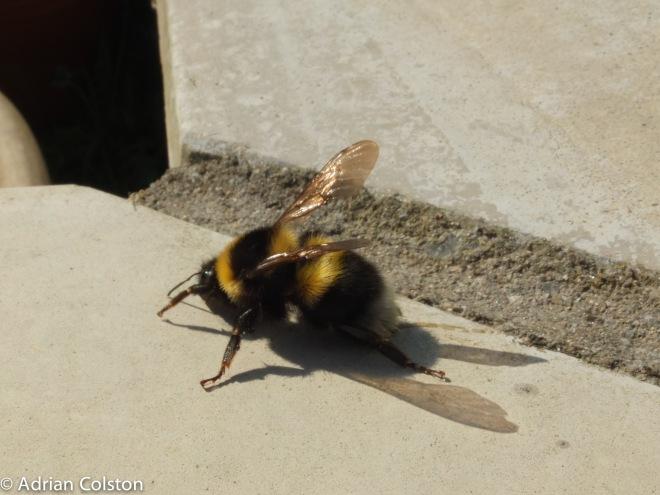 Garden bumblebee 4