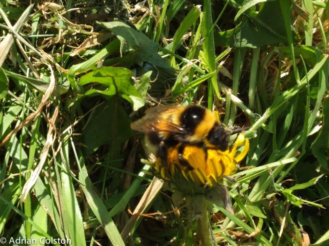 Garden bumblebee 5