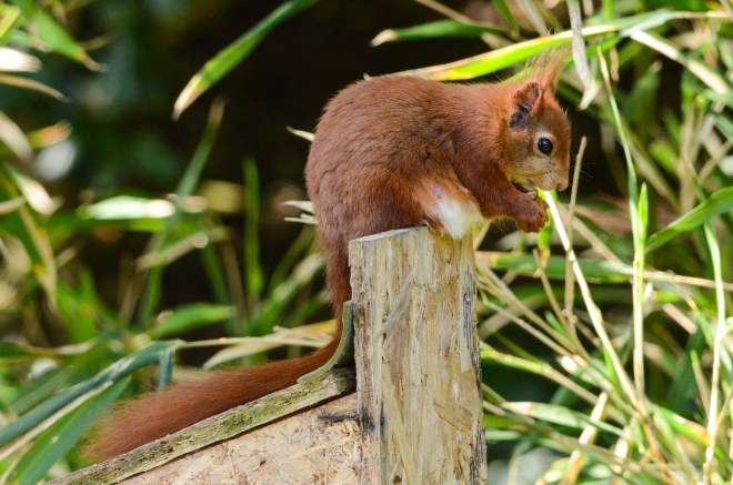 Red squirrel 5