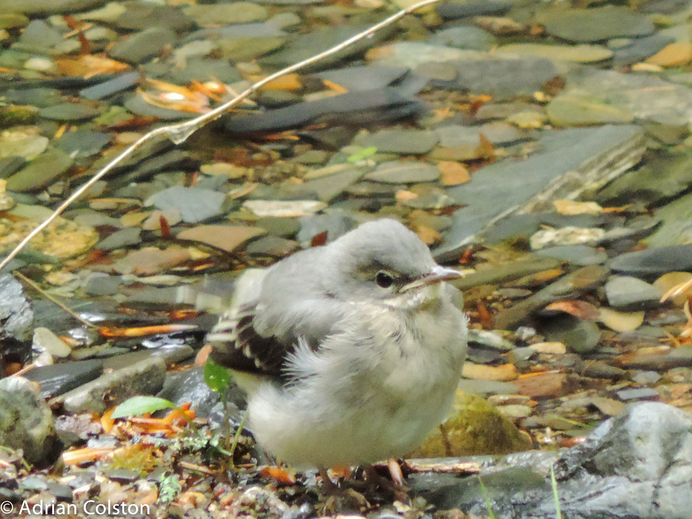 Wagtail chick in captivity 52