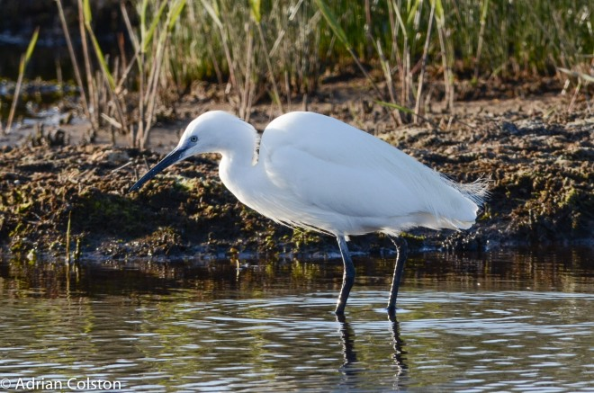 Little egret 3