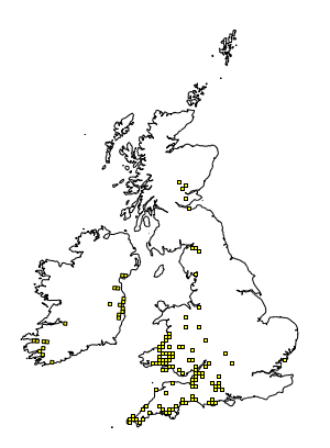 bombylius canescans