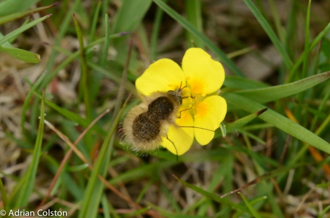 Bombylius cansescens 1