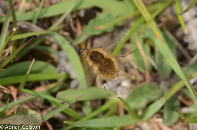 Bombylius cansescens 2