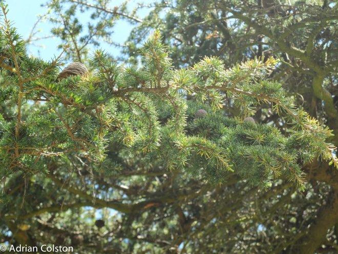 Cedar of L2