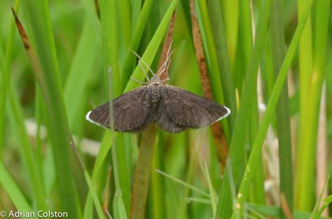 chimney sweep moth 1