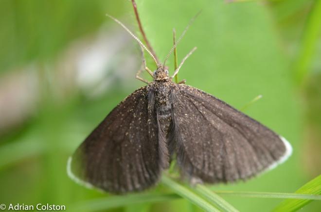 chimney sweep moth 5