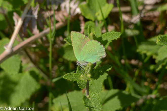 Green hairstreak1
