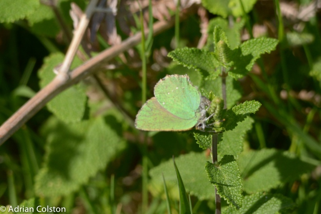 Green hairstreak2