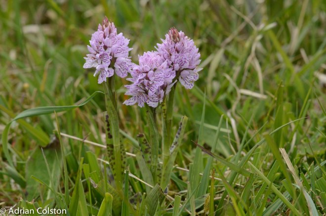 Heath spotted orchid 1