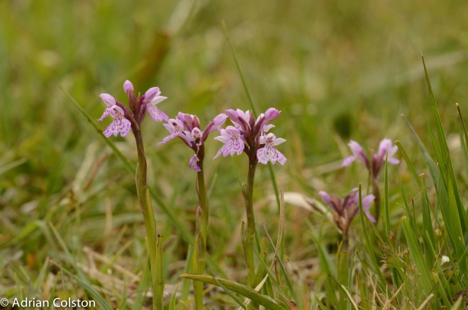 Heath spotted orchid 2