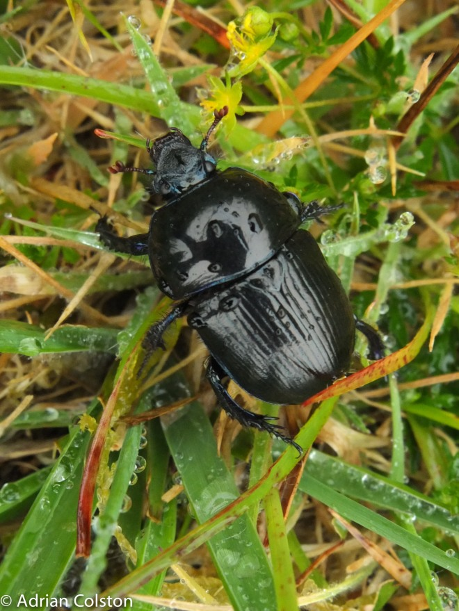 Dumbledor beetle 1