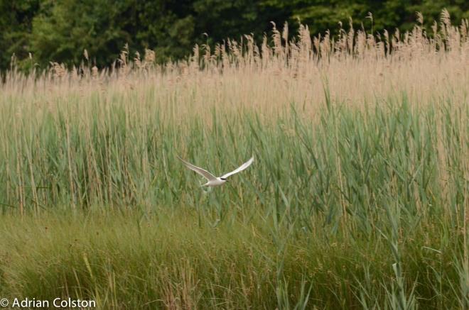 Gull billed tern 1