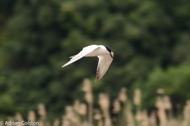 Gull billed tern 3