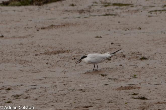 Gull billed tern 7