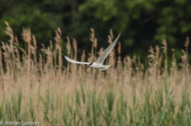 Gull billed tern 9