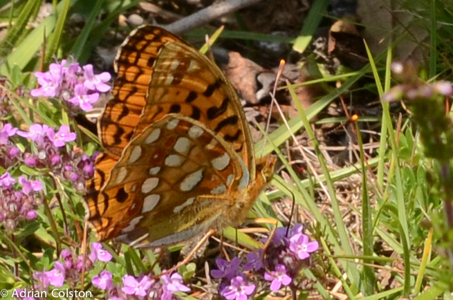 High brown fritillary 1