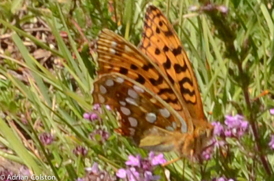 High brown fritillary 2