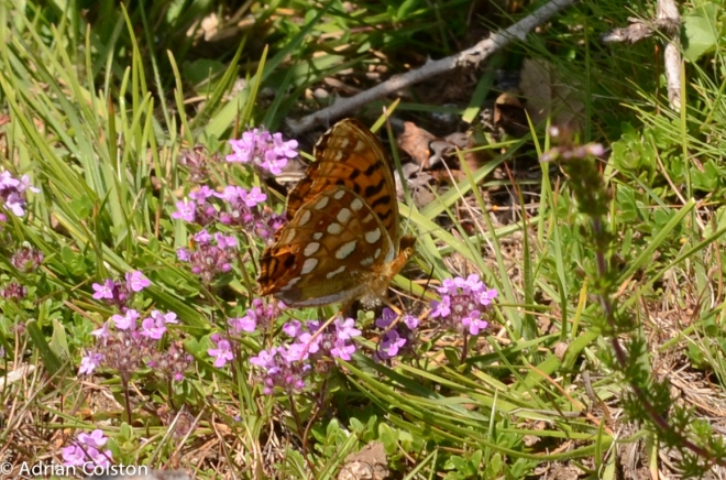 High brown fritillary 3