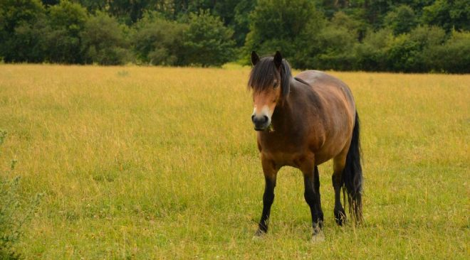 Knepp pony1