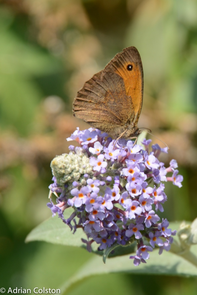 Meadow brown-2