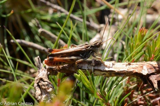 Mottled grasshopper