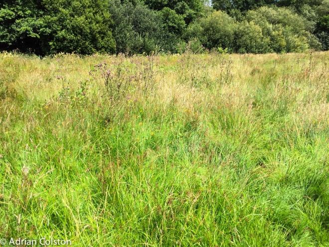 Parkland meadow