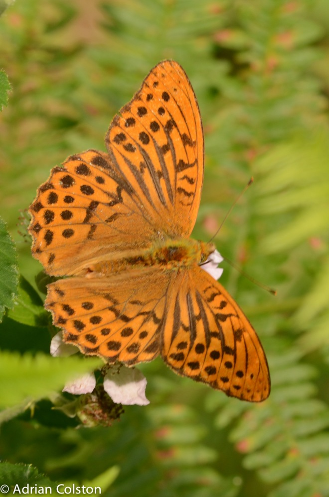 Silver washed fritillary 5