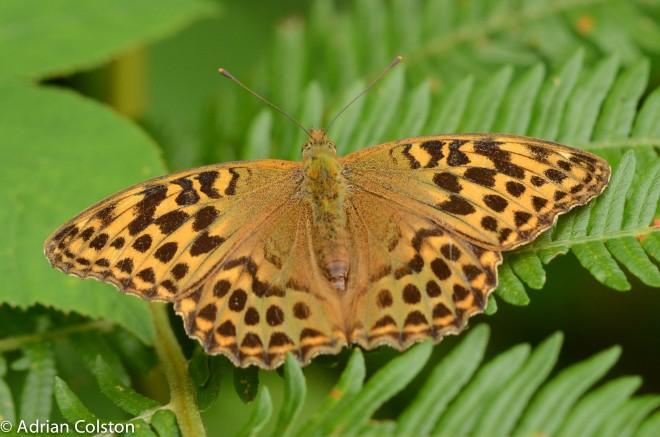 Silver washed fritillary 6