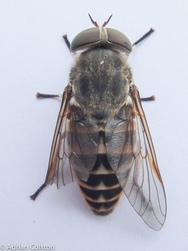 Tabanus sudeticus 2
