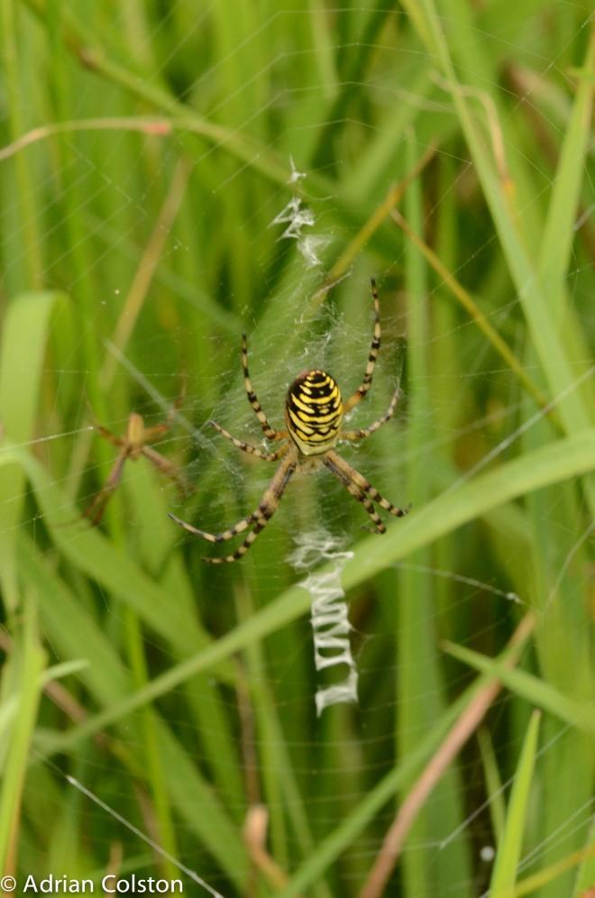 Wasp spider 2