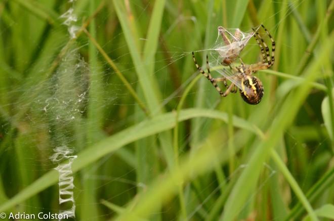 Wasp spider 3