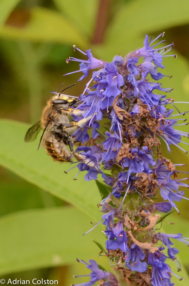 Wool carder bee 2
