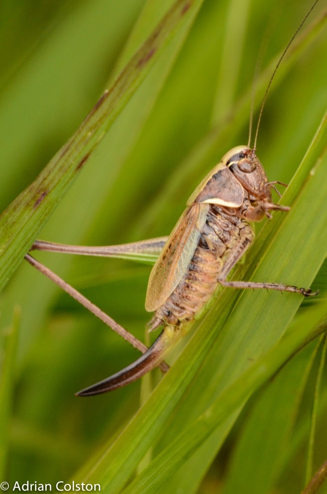 Bog bush cricket 1