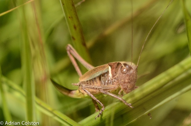 Bog bush cricket 2