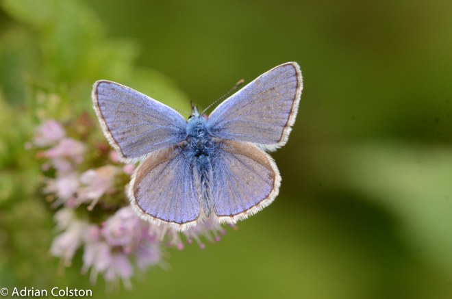 Common blue 1