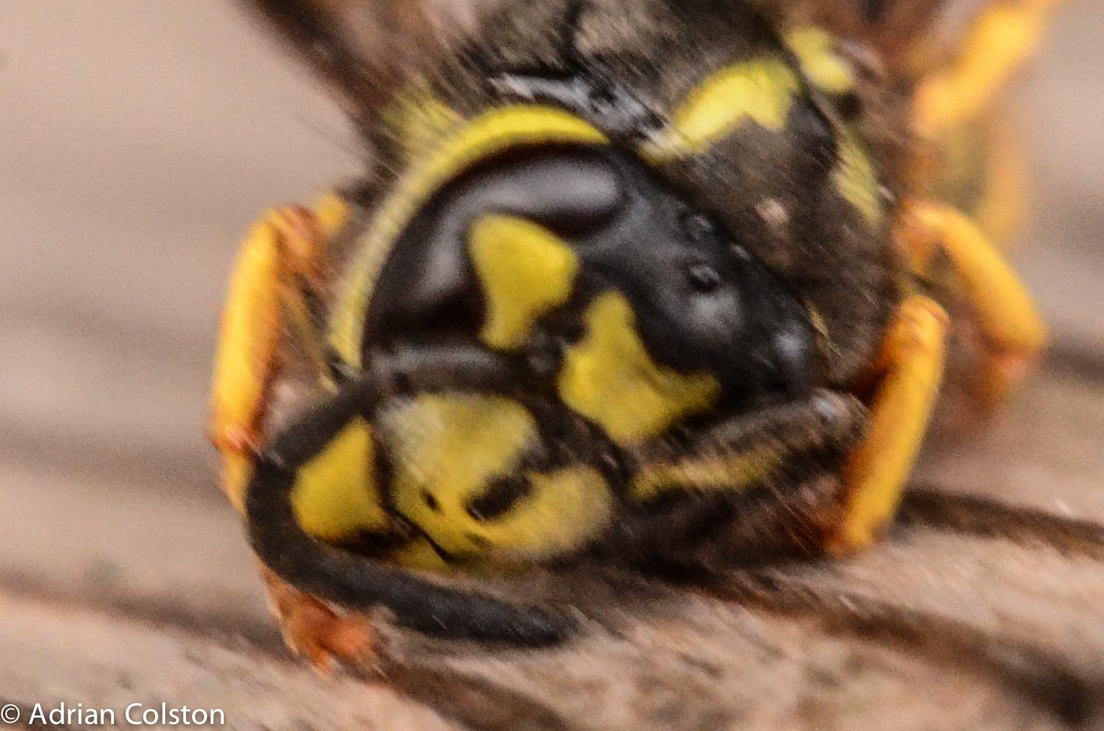 Wasp Deutsch