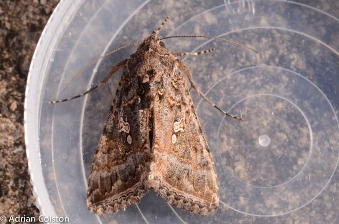 Ni moth 1