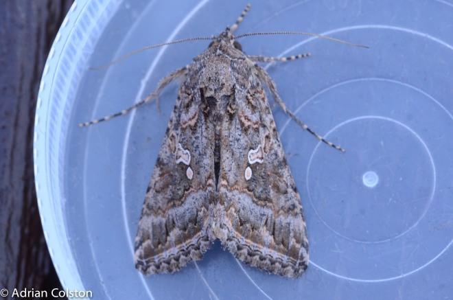 Ni moth 2