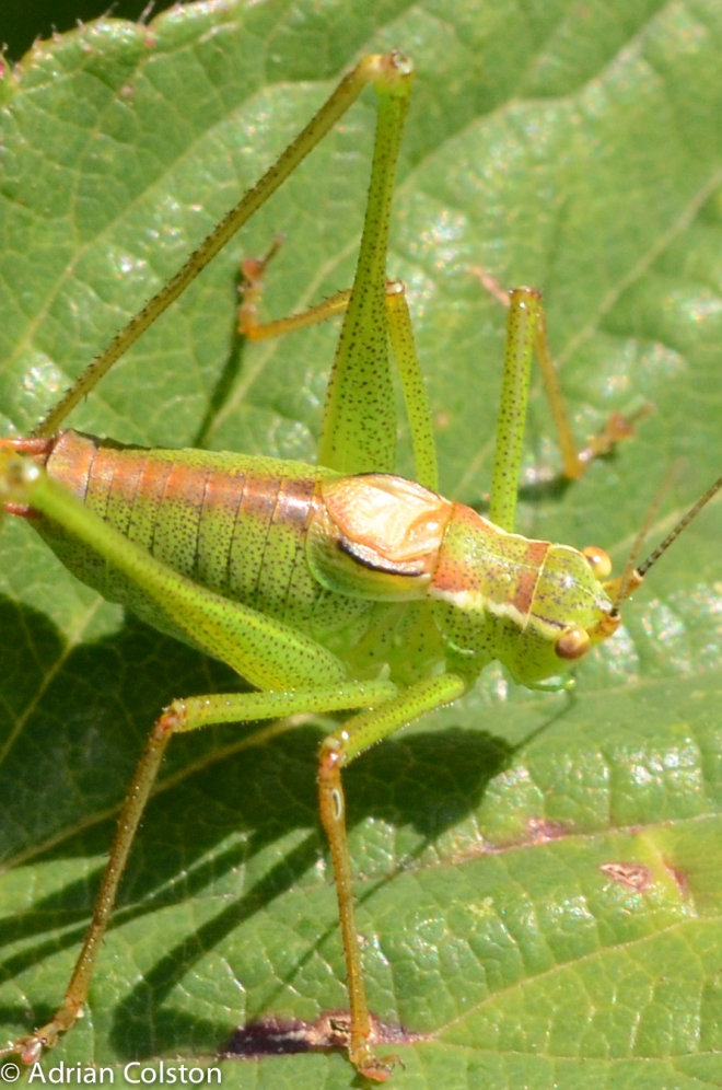 Speckled bush crickey 2