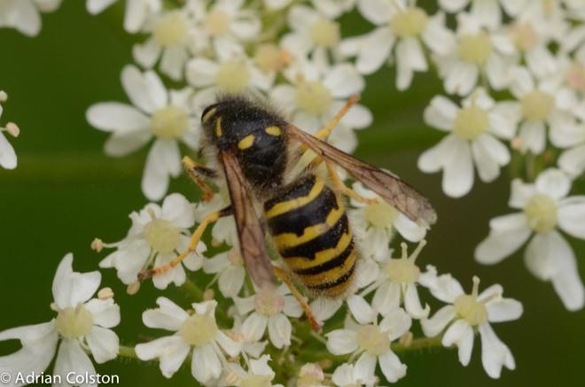 Tree wasp 1